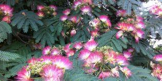 FOTO Arbori ornamentali cu crestere rapida