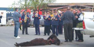 FOTO Petrecere groteasca cu fanfara si bautura, in strada, in jurul a doi ursi omorati la vanatoare