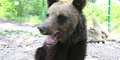 Ursul naravas a mai ucis trei porci in comunele Bustuchin si Albeni: