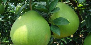 Cinci motive sa mananci Pomelo, fructul venerat in China care tine inima in viata. De ce este interzis copiilor sub un an