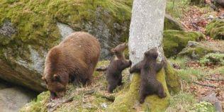 O familie de ursi va fi relocata din zona Cetatii Poenari. Decizia a fost luata dupa ce un grup de copii s-a intalnit cu animalele pe treptele spre fortareata