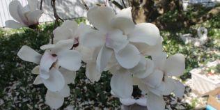 VIDEO Unde creste cea mai batrana magnolie din Romania. Fabulosul arbust a atins 100 de ani si provoaca accidente