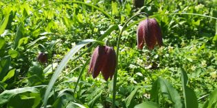 Paradisul floral ascuns intr-o padure din nordul Romaniei. O bibliotecara a descoperit o floare monument al naturii